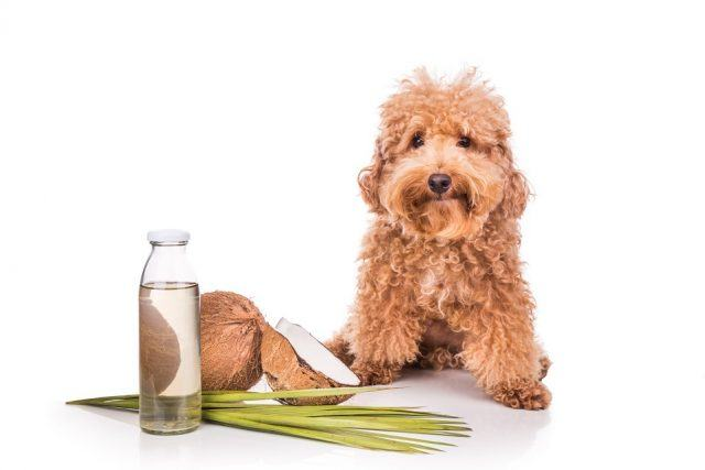 a dog with coconuts and water
