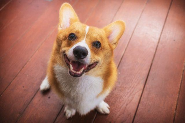 Corgi dog soft focus