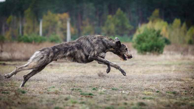 Irish wolfhound runs