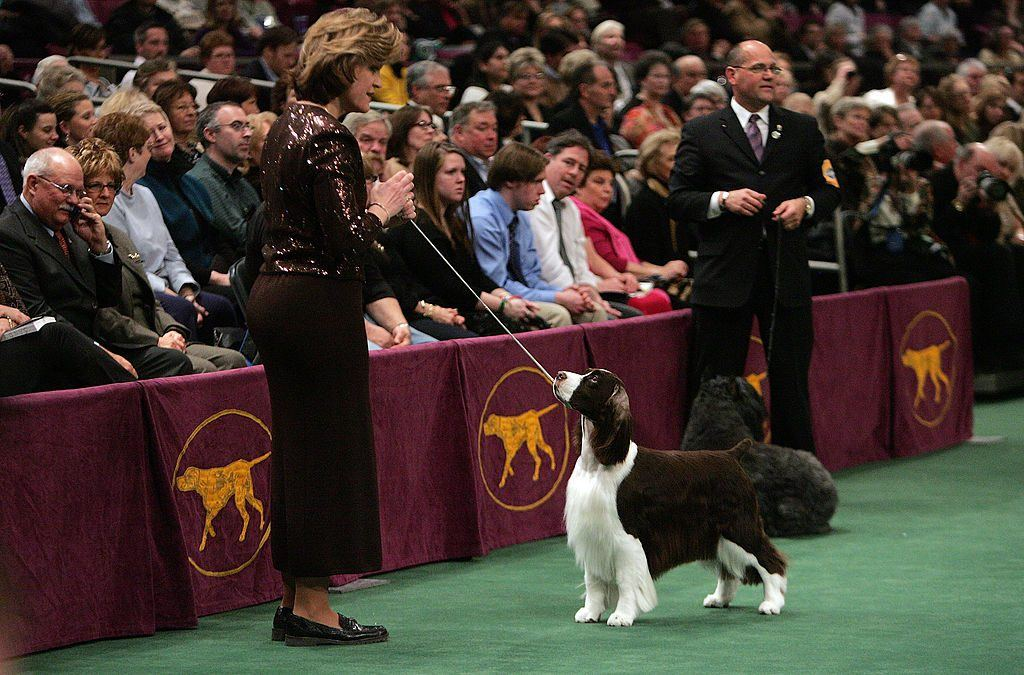 An English springer spaniel at Westminster