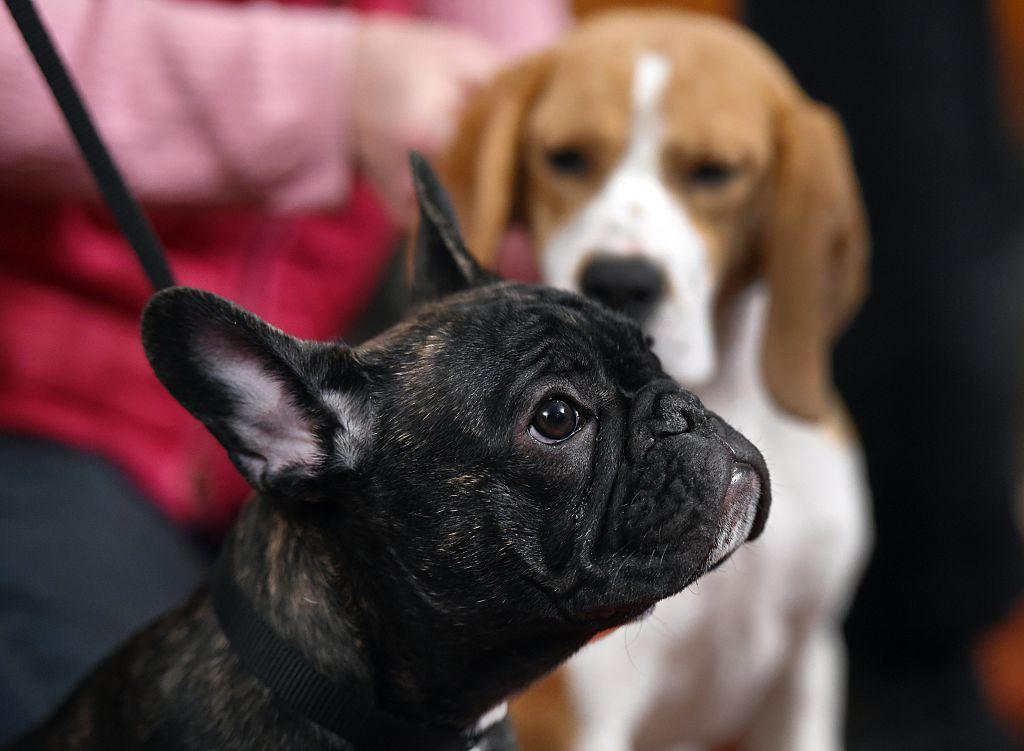 French Bulldog puppy Louis