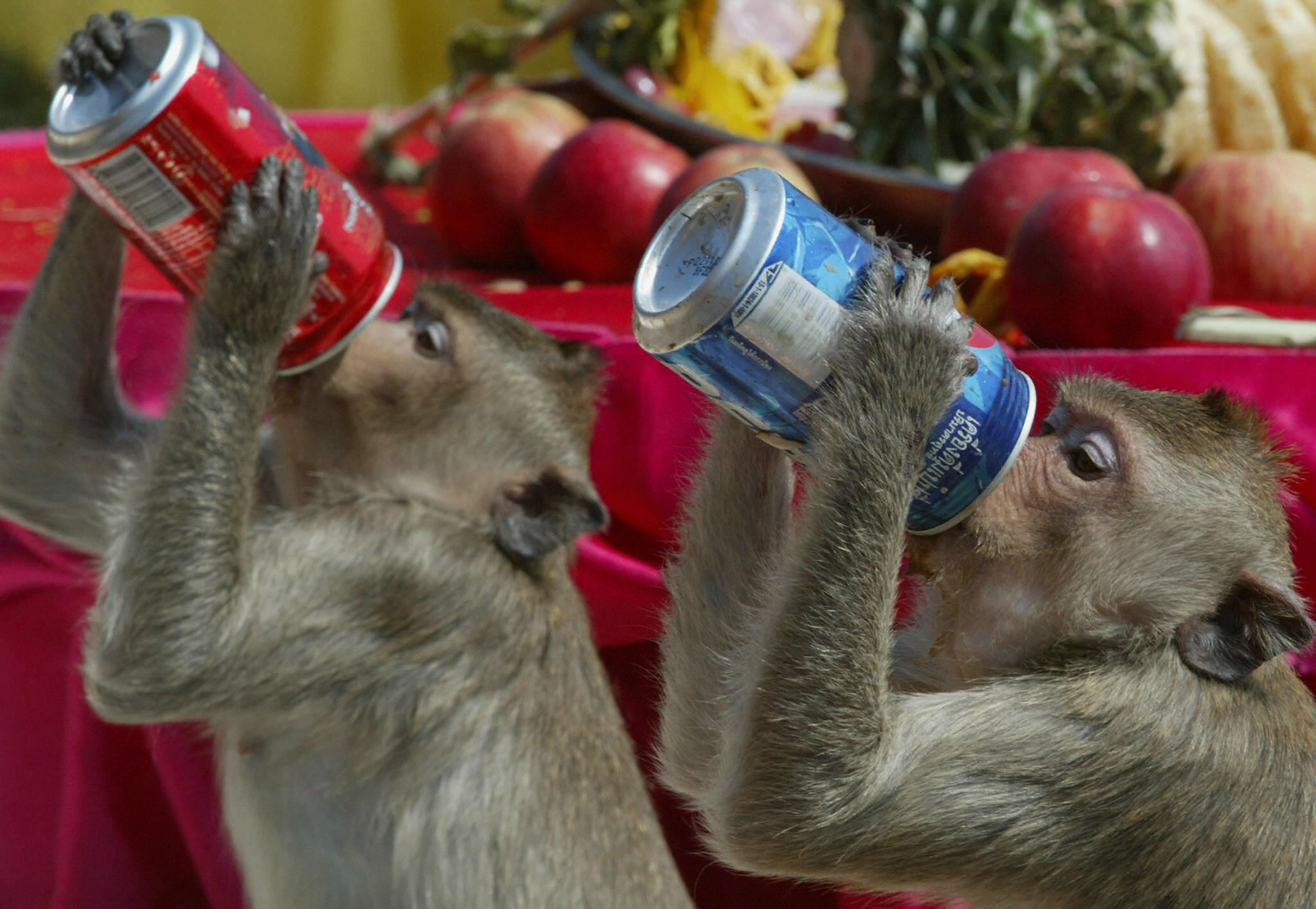Two monkeys chug soda, showing a real lack of willpower and a poor diet