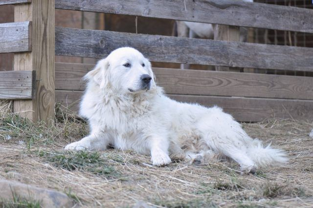Great Pyrenees lying outside barn