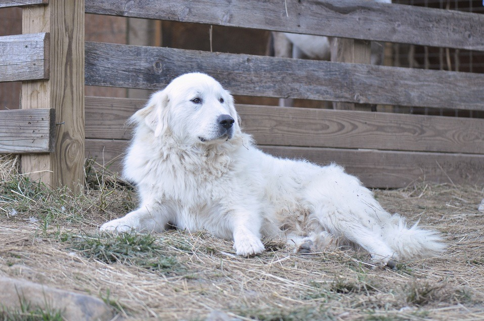 Great Pyrenees resting