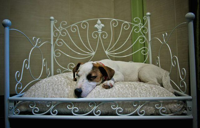 Jack Russell terrier on a bed