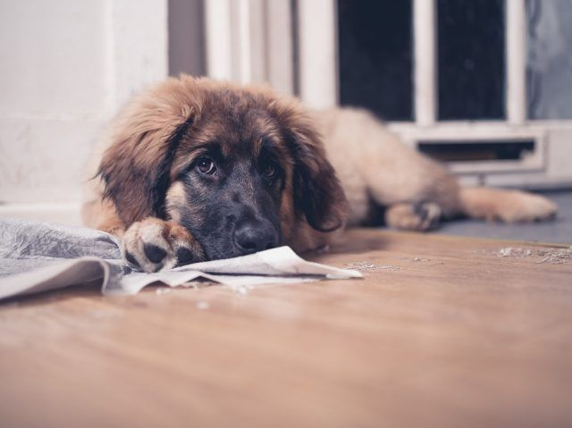 A young Leonberger puppy is lying on the floor