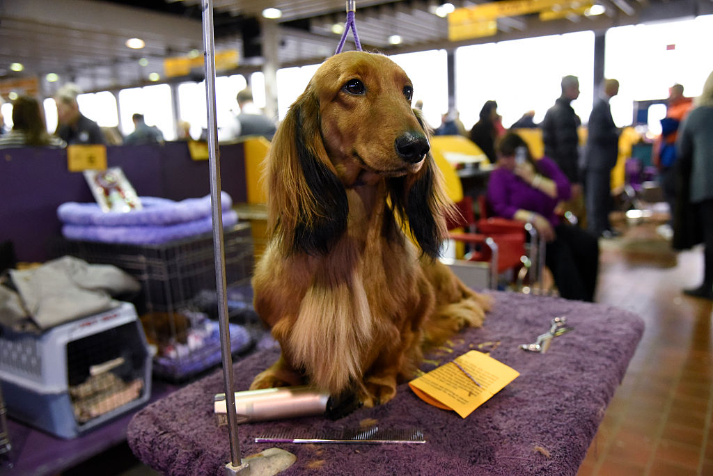 A long-haired dachshund waits in a grooming area