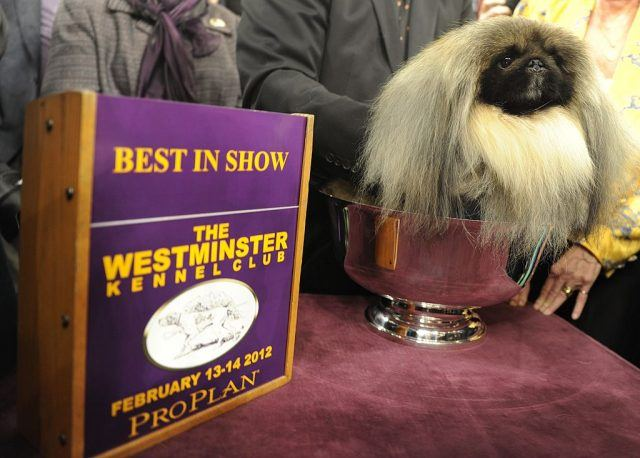 Malachy, a Pekingese, after winning Best in Show during the 136th Westminster Kennel Club Annual Dog Show held at Madison Square Garden February 14, 2012. AFP PHOTO / TIMOTHY A. CLARY (Photo credit should read TIMOTHY A. CLARY/AFP/Getty Images)