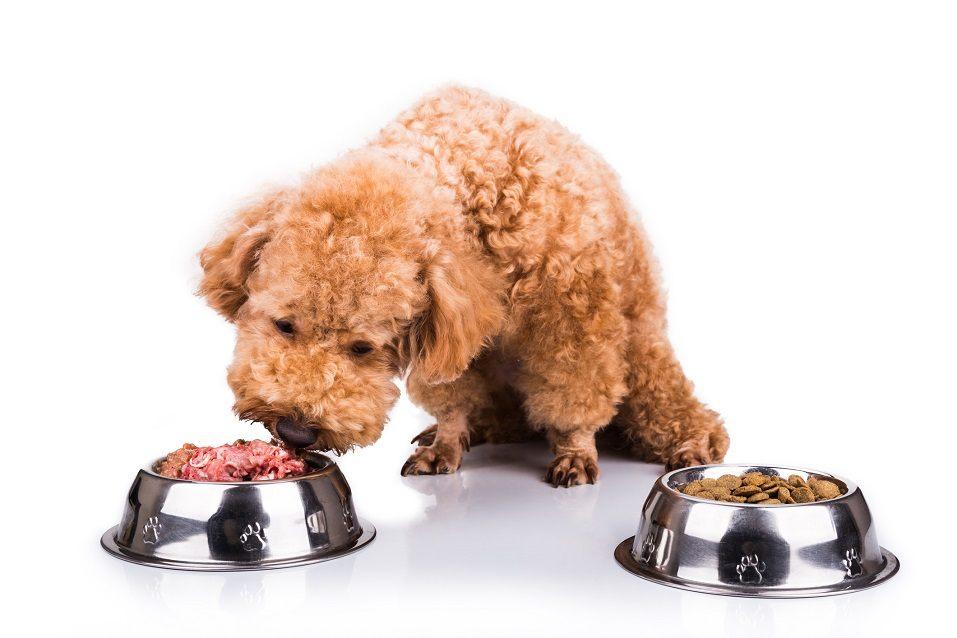 poodle chooses between two food bowls