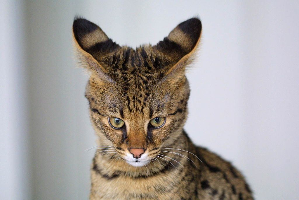A 4-month-old Savannah cat