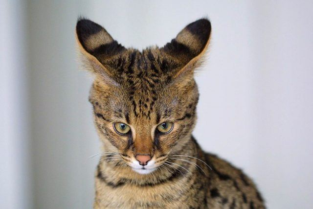Close up of a four-month-old F1 Savannah cat