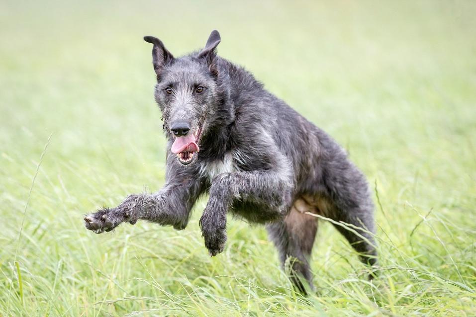 Scottish deerhound playing