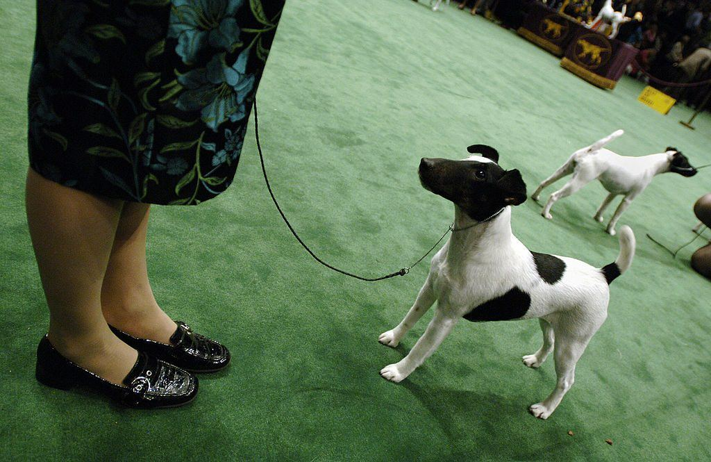 Smooth Fox Terrier at Westminster