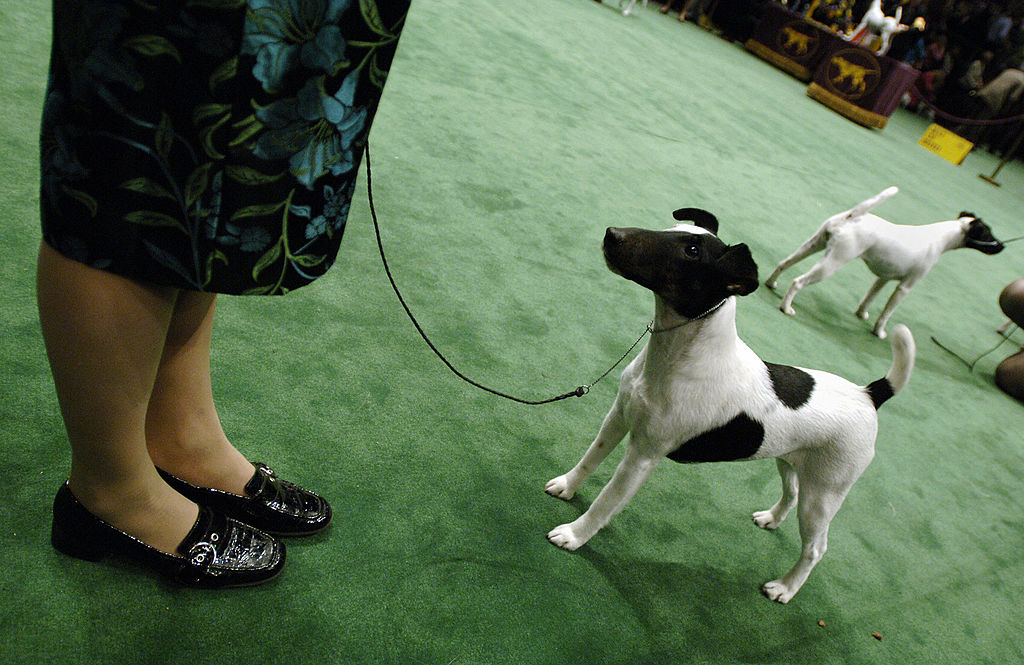 A smooth fox terrier looks up at its handler.