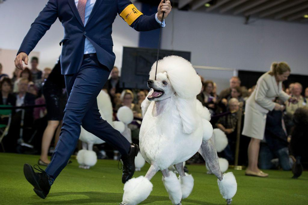 standard poodle in Westminster dog show