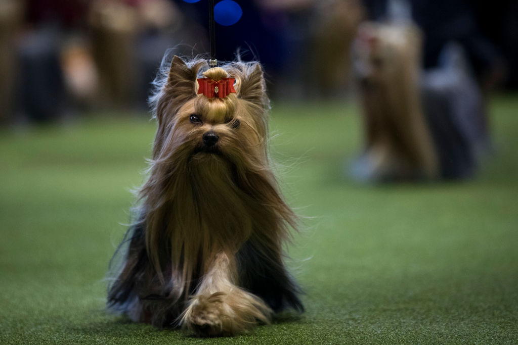A Yorkshire Terrier walks during competition