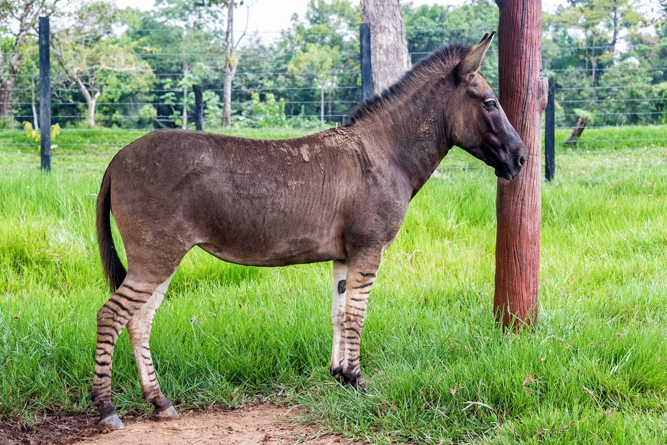 A zonkey is a cross between a donkey and a zebra