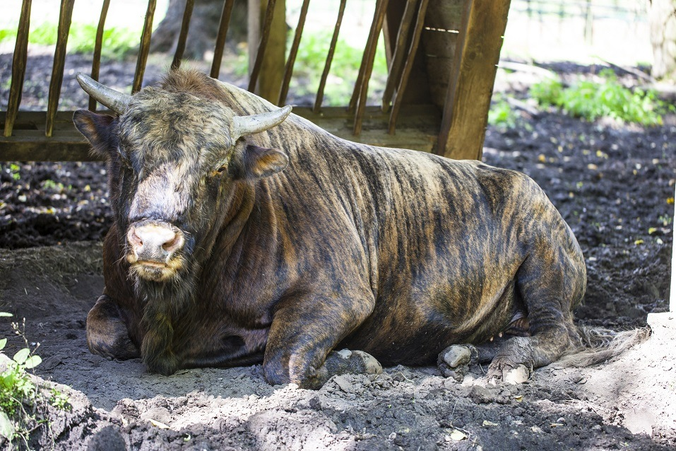 Zubron, a hybrid of domestic cattle