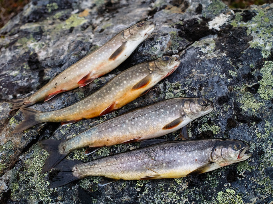 freshly caught arctic char