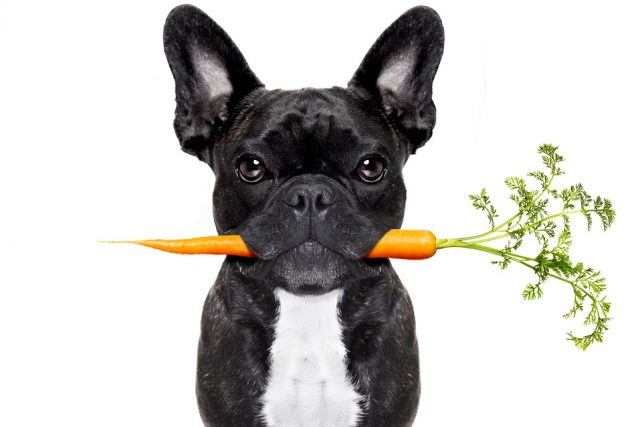 Bulldog with carrot in mouth