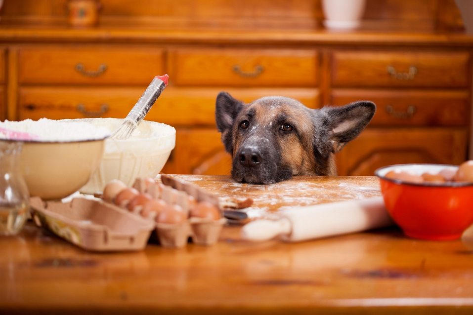 shepherd dog stealing from table