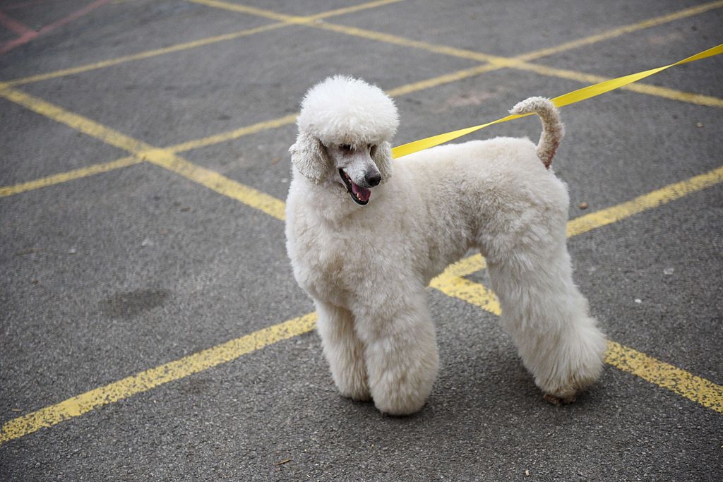 Poodle stands in a parking lot