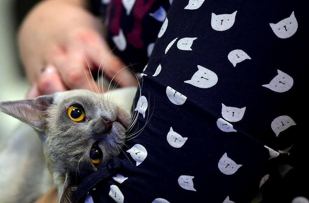 A Chartreux cat