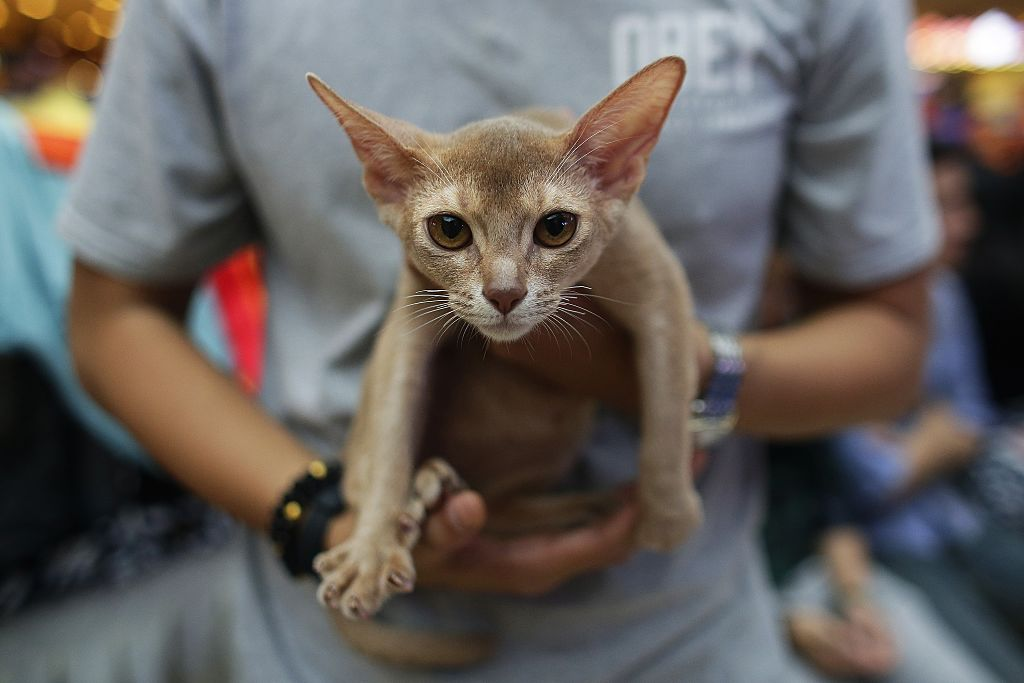 An Abyssinian cat