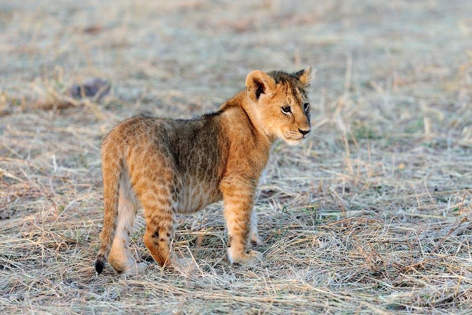 Young lion cub