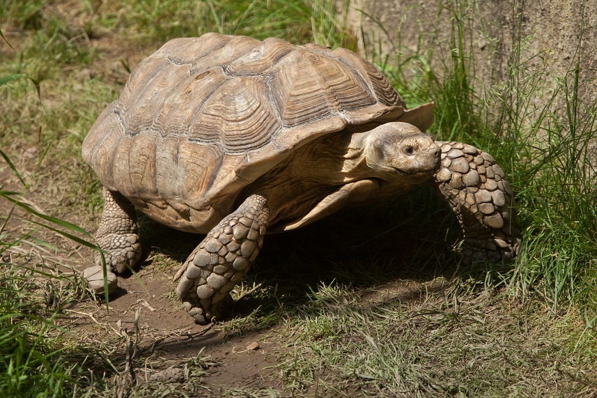 African spurred tortoise - photo#38