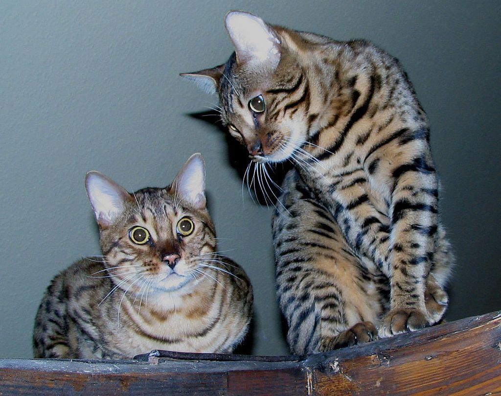 Bengal cats georgetown ontario