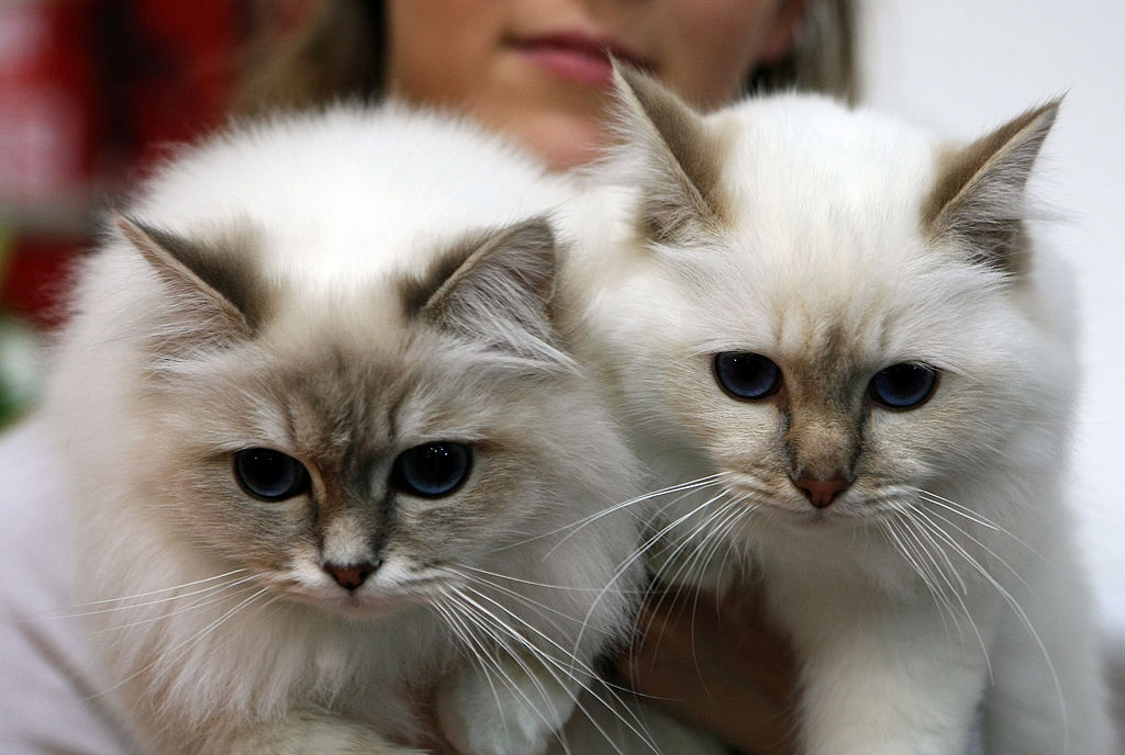 15 Cat Breeds That Act Just Like Dogs
