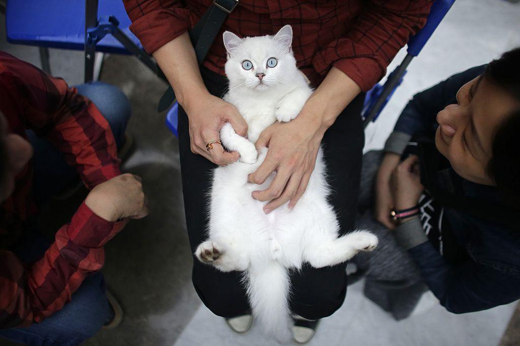 A British Shorthair cat