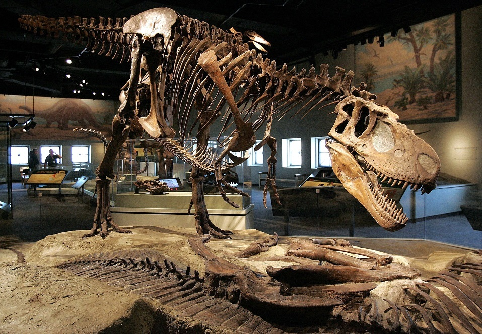 A theropod, part of the Evolving Planet exhibit, is displayed at the Field Museum.