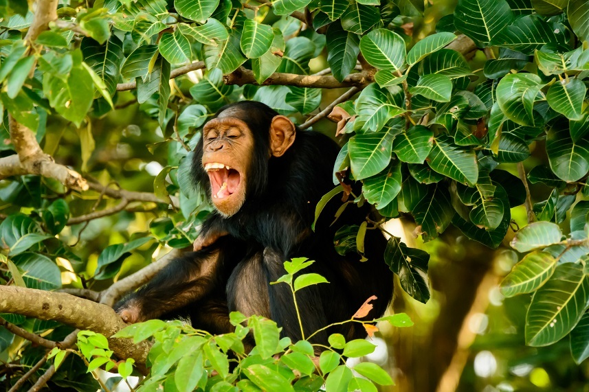 Chimp in trees