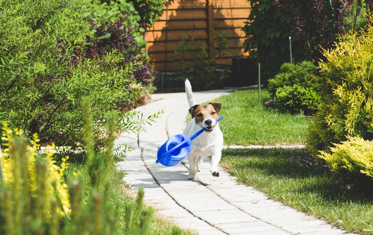 Jack Russell holding a watering can