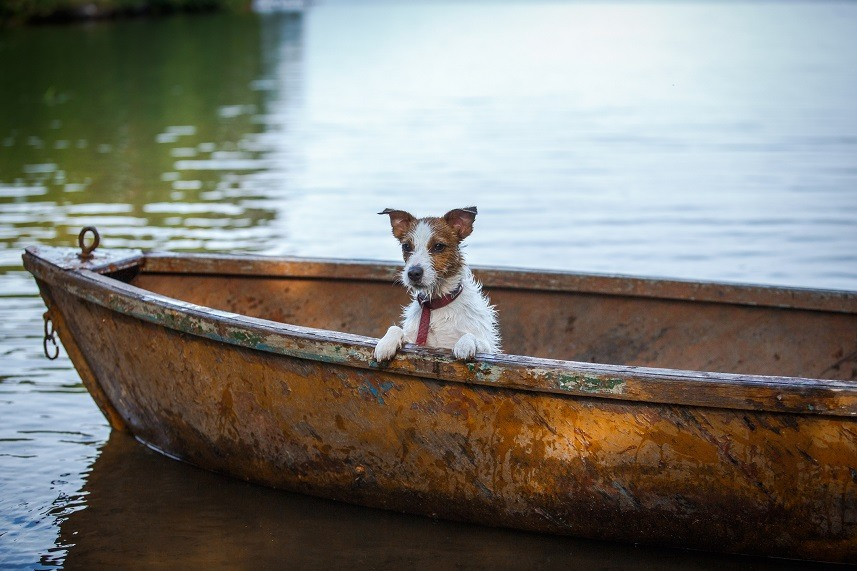 Jack Russell terrier in a boat