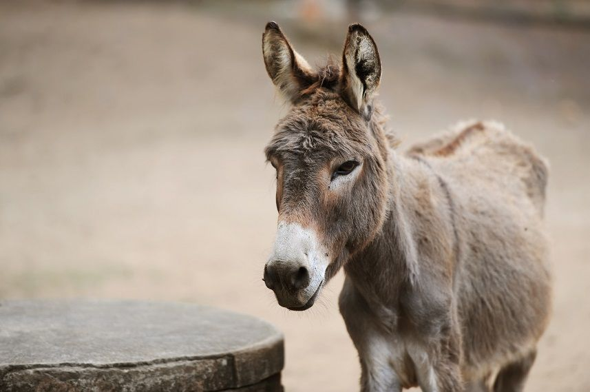 Donkey on farm