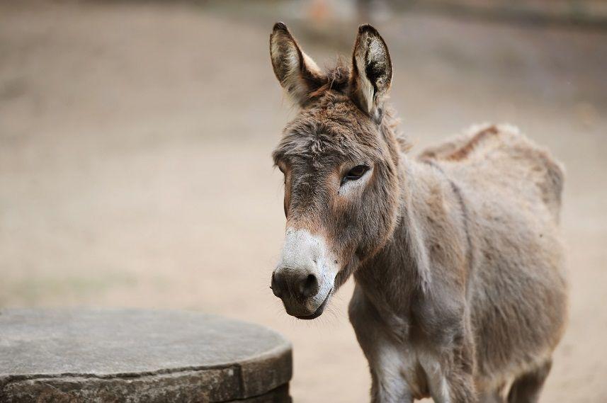 Donkey on farm