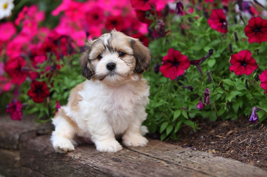Shichon puppy sitting by flowers