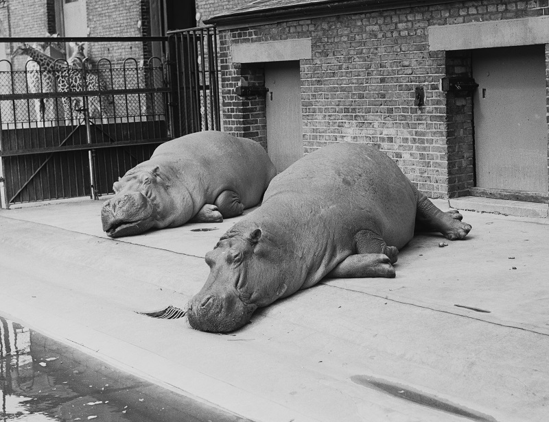 Two hippopotami basking in the sunshine at London Zoo