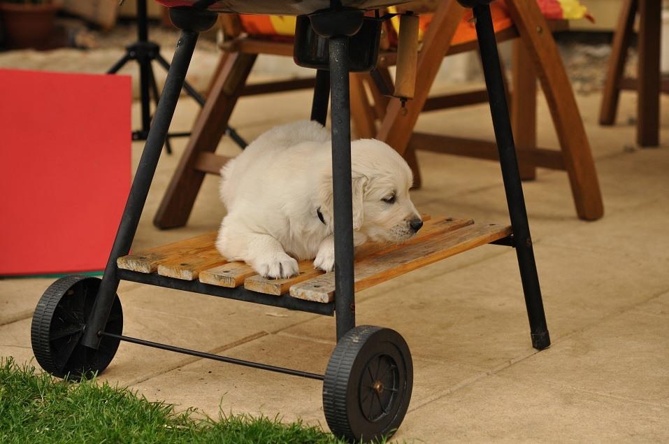 Golden retriever puppy sits under a grill.