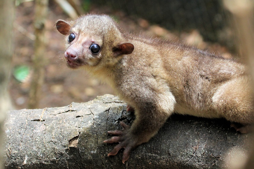 Kinkajou on a tree