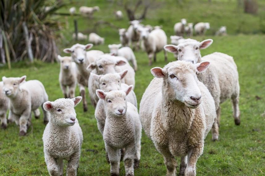Lambs and sheep