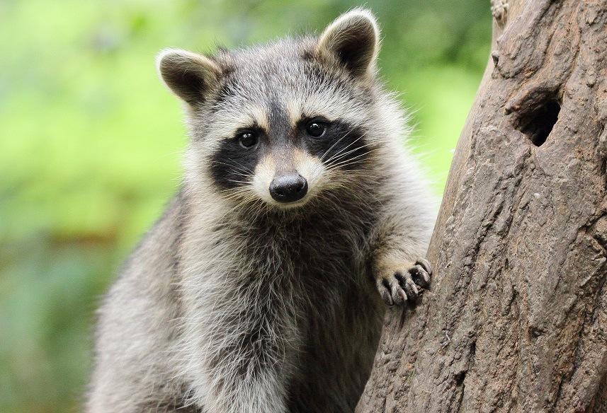 Raccoon on tree