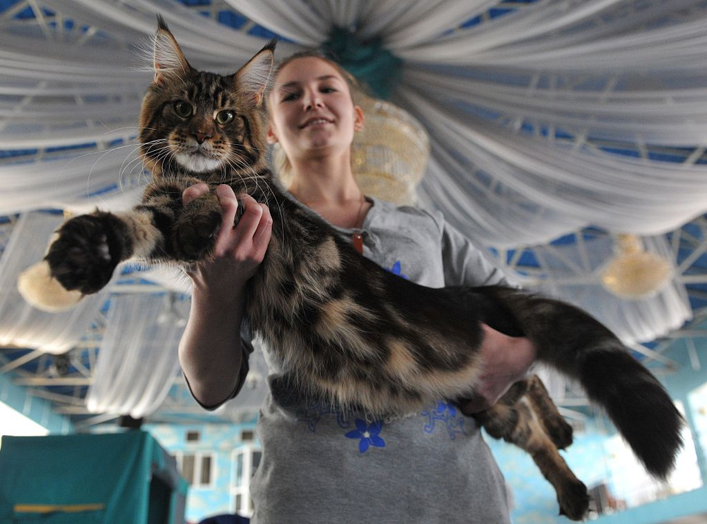 An owner poses with her Maine Coon cat