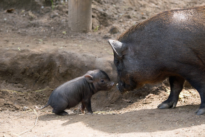 pig and piglet