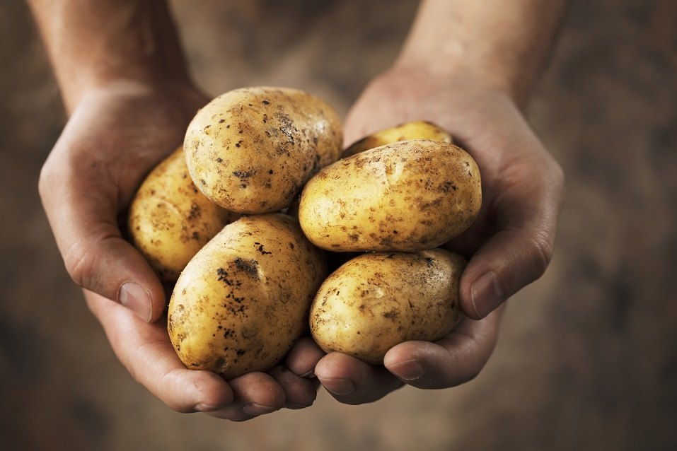 Two hands holding freshly harvested potatoes.