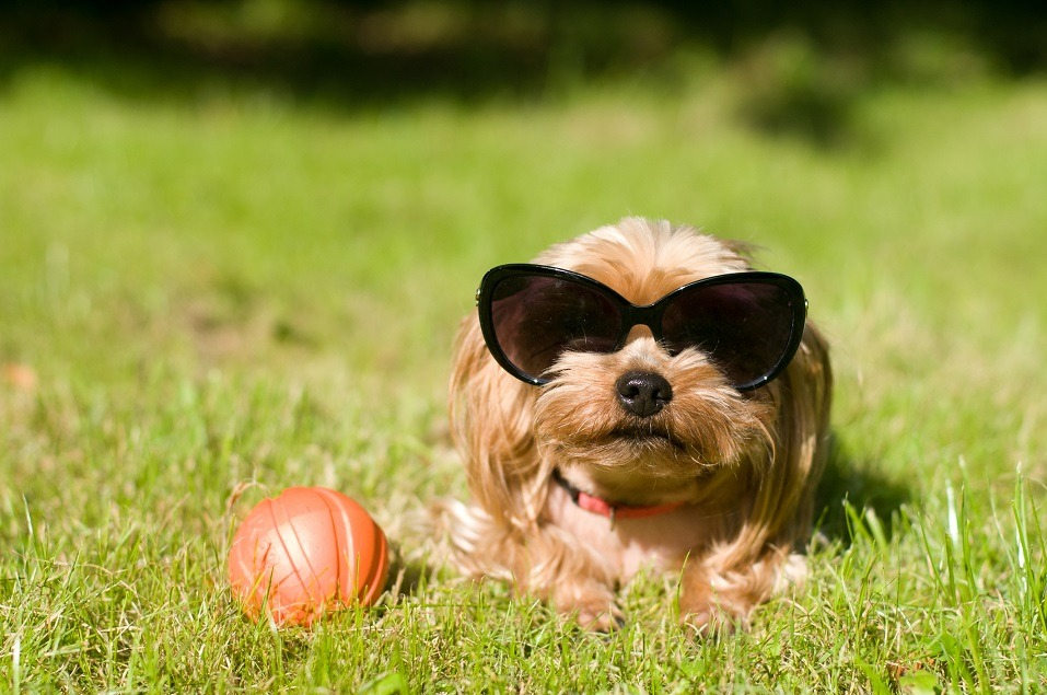 Yorkshire terrier wearing sunglasses