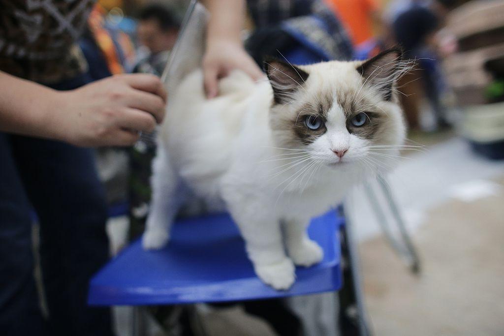 A Ragdoll cat
